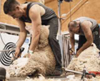 Sheep shearing, woodchopping and/or whipcracking…